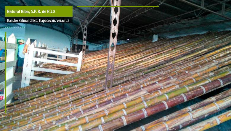 Bambú preservado y de diferentes grosores: 6 años