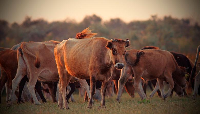 Qué son, cómo funcionan y qué detalles debes cuidar cuando utilizas implantes anabólicos esteroides en bovinos en engorda