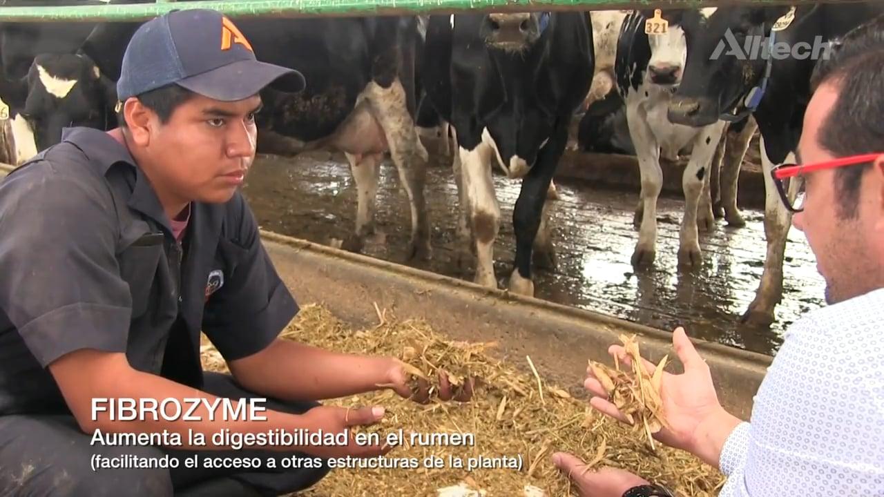 Metabolismo de los carbohidratos en ganado lechero, Parte 2