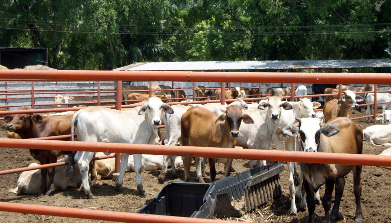 Avanza San Luis Potosí en su misión para mejorar el estatus de la ganadería bovina