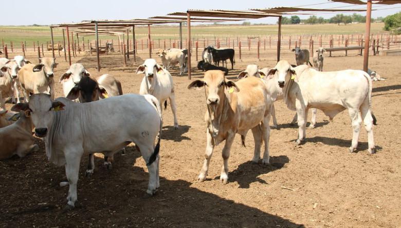 La ganadería sinaloense reportó avances en la recuperación del estatus sanitario para exportar a EE. UU.