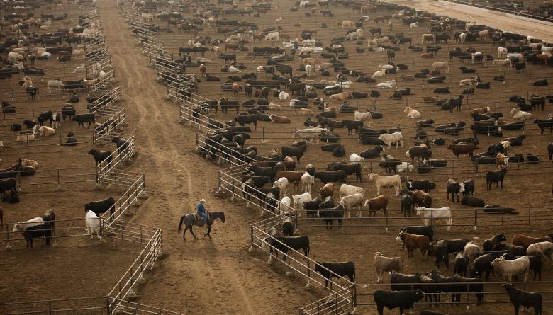 EE. UU. ha enviado más de 14,000 cabezas de ganado a México por deficiencias en su capacidad de procesamiento